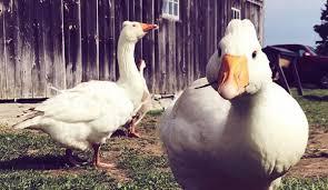 Adding Ducks Or Geese Learn Their Housing Needs Hobby Farms