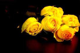 roses yellow rose 1920x1280 wallpaper