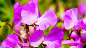 Plant Seeds Now For Colorful Spring Sweet Peas The San Diego Union Tribune