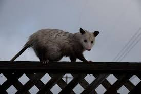 Fences Won T Keep Opossums And Skunks Out