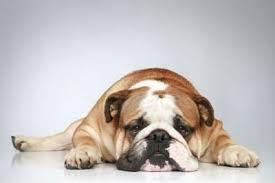 bulldog inglés origen características