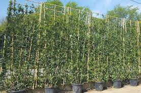 Living Screening Trees For Instant Privacy Buy Online Uk