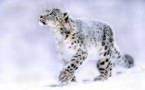 snow leopard wallpapers wallpaper cave