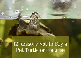 12 Reasons Not To Buy A Pet Turtle Or Tortoise Pethelpful By Fellow Animal Lovers And Experts