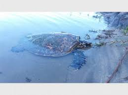 Umtamvuna Views: Ida rescues an endangered sea turtle - South Coast Herald