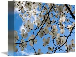 Dogwood Tree Flowers Ohio By Richard Wood