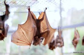 ABC Megabats Little Reds from cold event 07/11/2016 flying-foxes Fruit bats