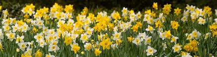 Image result for flower crocus and daffodils