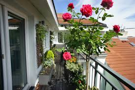 growing roses in containers no garden