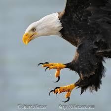 Bald Eagle close up with talons   Eagle pictures, Bald eagle ...