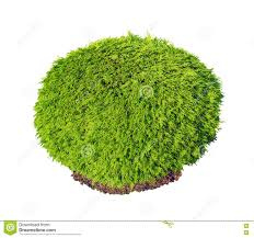 Thuja Occidentalis Selena Green Bush Stock Image - Image of culture, leaf:  73430745