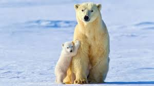 white bear baby polar bears free download hd wallpapers | Polar ...