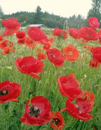 organic seeds shirley poppy cornfield