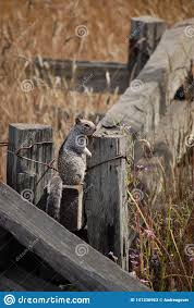 Squirrel Standing On A Fence Stock Image Image Of Standing Fence 141336963