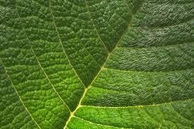 leaf of glory bush tibouchina