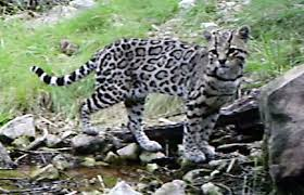 Border Wall Could Be Game Over For Ocelots Jaguars In U S Conservationist Says Local News Tucson Com