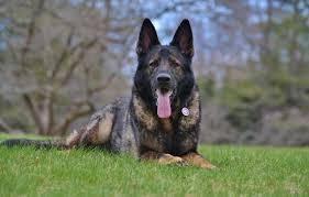 wallpaper dog german shepherd sable