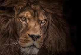 lions head wallpapers hd desktop and