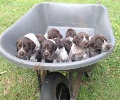 german shorthaired pointer archives