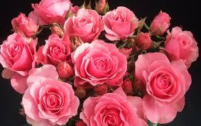 صور ورود جميلة With Images Rose Beautiful Roses Pink Rose