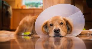 dog cone making the best choice for