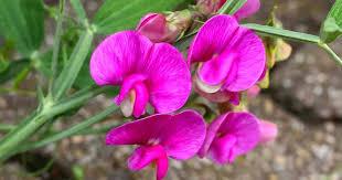 Perennial Sweet Pea Flower Care And Growing Of Lathyrus Latifolius