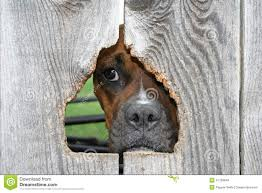 97 Dog Looking Hole Fence Photos Free Royalty Free Stock Photos From Dreamstime