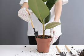 woman replanting ficus flower in a new