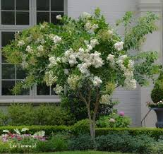 White Acoma Crape Myrtle Trees - $6 each - Grown in quart ...