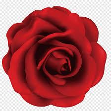حديقة الورود Centifolia الورود Beach Rose Rosa Gallica الوردة