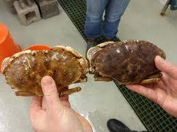 Jonah Crab Moves Mainstream In Gulf Of ...