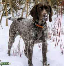 german pointer short haired stud dogs