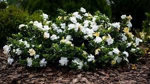dwarf radicans gardenia