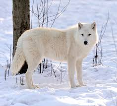 Image result for white wolf native american meaning