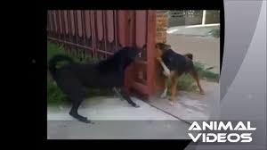 79 Dogs Bark Through Open Fence Youtube