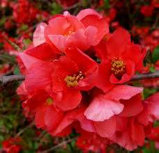 quince blossom flower wallpaper