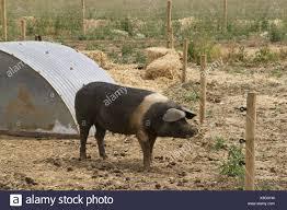 Saddleback Pig By Sty Also Showing Electric Fence Stock Photo Alamy