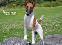 Fox-terrier à poil lisse - Fox-terrier Smooth - Les avis et les photos des  internautes - Les avis - Choisir son chien