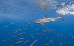 تحميل خلفيات القرش الأبيض قطيع من السمك المفترس العالم تحت