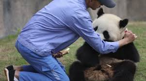 panda and breeder cute panda