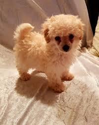 toy poodle puppies austin