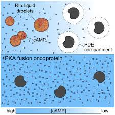 Phase Separation of a PKA Regulatory Subunit Controls cAMP Compartmentation  and Oncogenic Signaling. - Cell - X-MOL