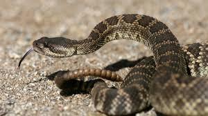 Region Rattlesnake Aversion Classes Go On The Down Low The San Diego Union Tribune