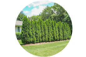 Emerald Green Arborvitae For Sale Know Before You Buy Plantingtree