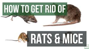 How To Get Rid Of Rats And Mice Guaranteed 4 Easy Steps Youtube