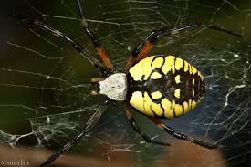 black and yellow garden spider north