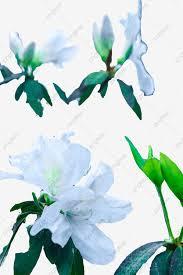 زهور بيضاء جميلة المظهر ورود بيضاء اوراق خضراء تبدو جميلة Png