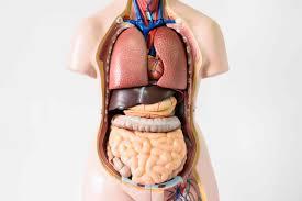 أعضاء جسم الإنسان بالالمانية وأبرز الأمراض