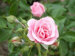 Patio Rose Pretty Polly (AGM) | Buy Online | Ashwood Nurseries