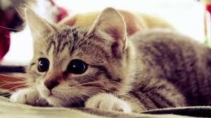 صور حيوانات اليفه اجمل صورة لحيوان اليف القطه عيون الرومانسية